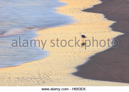 A herring gull (Larus argentatus) stands in wet sand on Venice Beach, California, waiting for Pacific Ocean waves - Stock Photo