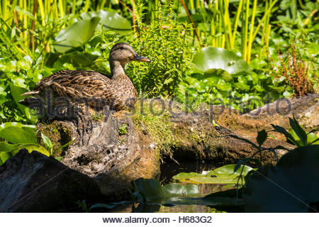 A mallard (Anas platyrhynchos) hen rests on a log in the wetlands of the Washington Park Arboretum, Seattle, Washington. - Stock Photo