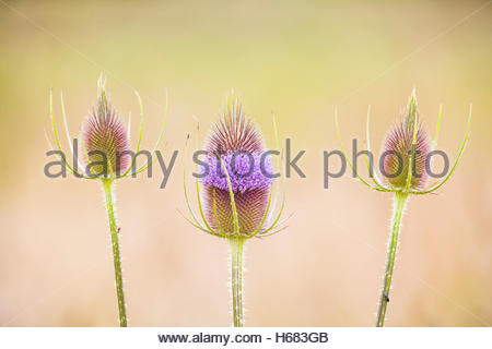 Three spear thistle plants (Cirsium vulgare), also known as bull thistle, begin to bloom in Snohomish, Washington. - Stock Photo