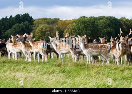 Deers in Phoenix Park, Dublin - Stock Photo