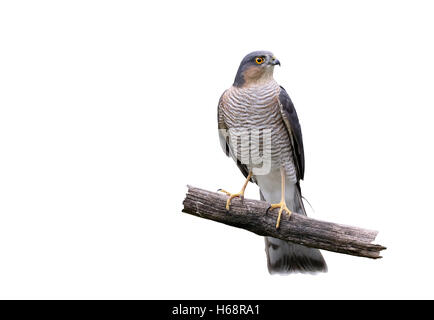 Sparrowhawk, Accipiter nisus, single male on branch, Warwickshire, October 2015 - Stock Photo