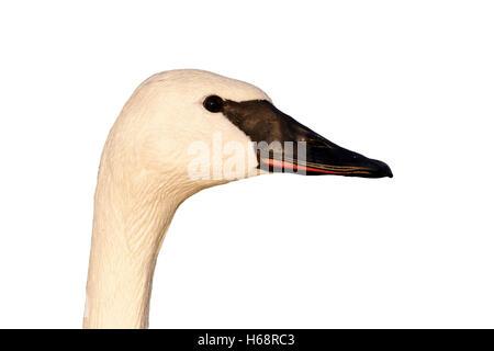 Trumpeter swan, Cygnus buccinator, single captive bird head shot, Gloucestershire, January 2012 - Stock Photo
