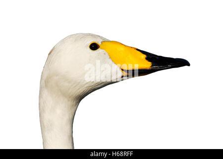 Whooper swan, Cygnus cygnus, Single bird head shot, London parks, March 2012 - Stock Photo