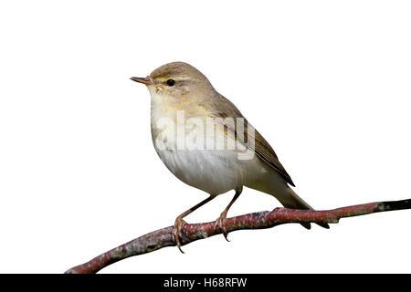 Willow warbler, Phylloscopus trochilus, single bird on branch, Warwickshire, April 2016 - Stock Photo