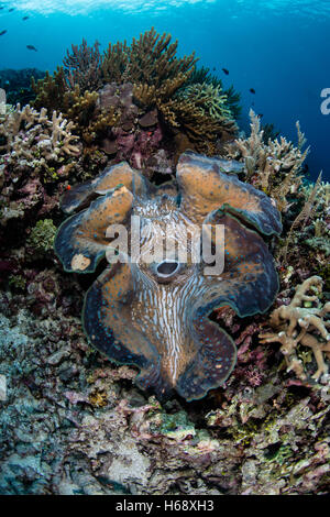 A Giant clam (Tridacna gigas) grows on a reef in Raja Ampat, Indonesia. This endangered species is the largest bivalve - Stock Photo