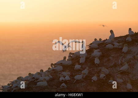 Northern Gannet (Sula bassana) colony at sunset, Schleswig-Holstein, Heligoland, Germany - Stock Photo