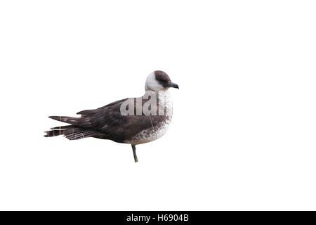 Pomarine skua or jaeger, Stercorarius pomarinus, A light phase bird standing on grass, Gloucestershire, UK, December - Stock Photo