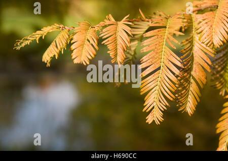 Dawn Redwood (Metasequoia glyptostroboides), branch - Stock Photo