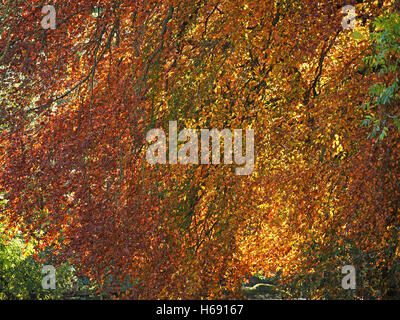 intricate pattern of back-lit autumn fall colours colors as sun shines through glowing golden tracery of beech leaves - Stock Photo