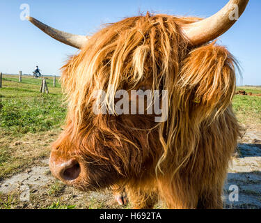 Langeoog. Germany. A head portrait of a Highland cattle with one eye looking towards the viewer and one horn extending - Stock Photo