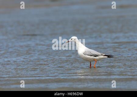 Slender-billed Gull (Larus genei), Merja Zerga, Morocco. - Stock Photo