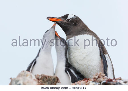 Two Gentoo Penguin chicks with their mother at feeding time in Port Lockroy at British Base A in Antarctica. - Stock Photo