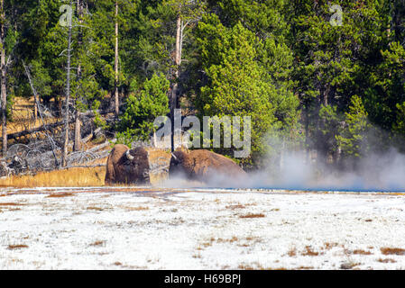 Two bison relaxing by some steam near Fountain Paint Pot in Yellowstone National Park - Stock Photo
