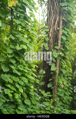 close-up of two trunks of trees covered with creeper in the middle of a thick forest - Stock Photo
