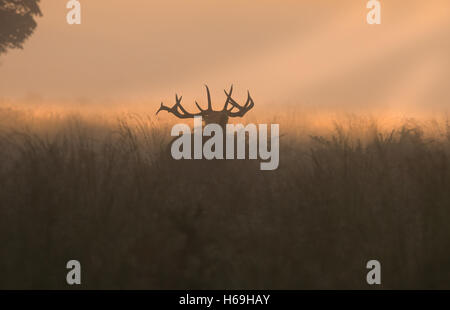 Red Deer(Stag)- Cervus elaphus bellowing  at sunrise during the rutting season. Uk - Stock Photo