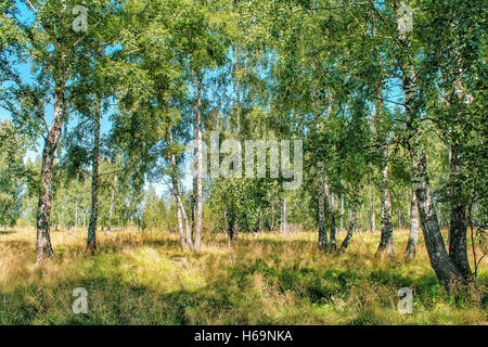 small birch grove on sunny summer day - Stock Photo
