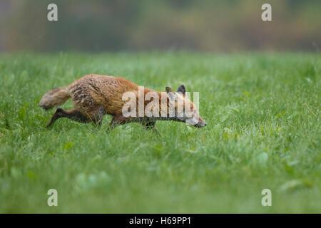 Rotfuchs, Vulpes vulpes, red fox - Stock Photo