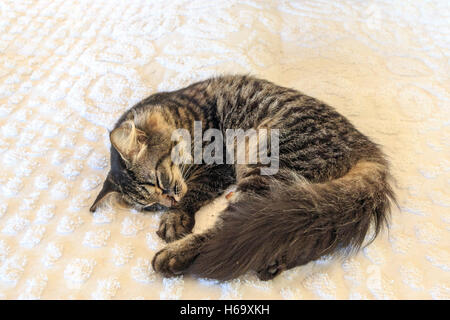 One of the dozens of six toed cats that now live in the former Hemingway home which has been turned into a museum - Stock Photo