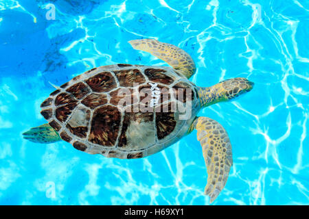 Rescued turtle at the Turtle Hospital in Marathon, Florida. The hospital rescues sick and injured turtles. - Stock Photo