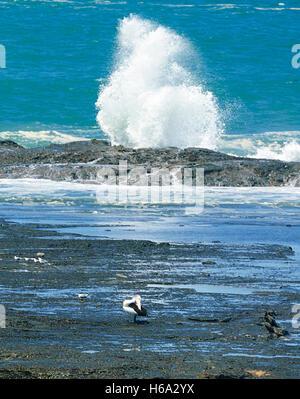 Australian Pelican (Pelecanus conspicillatus) preening on the rock shelf during a swell on the Illawarra Coast, - Stock Photo
