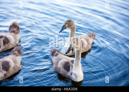 Young swans swimming in a pond. Ugly ducklings - Stock Photo