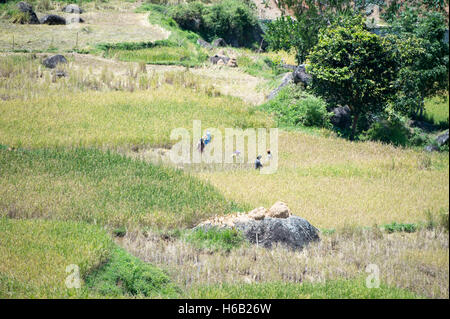 Paddy Field at North Toraja, Indonesia. - Stock Photo