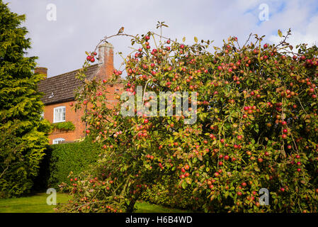 A fruit tree laden with ripe red Tydeman's Late Orange apples in a country garden in UK - Stock Photo