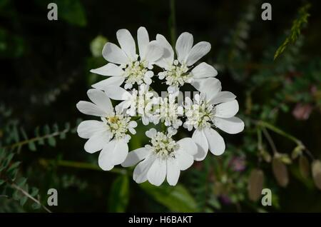 Orlaya (Orlaya grandiflora), Labeaume, Ardèche, France - Stock Photo