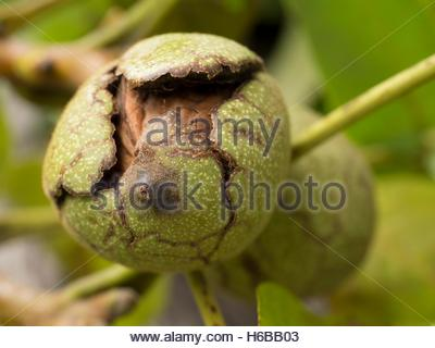 Walnuts in their bug on the tree - Stock Photo