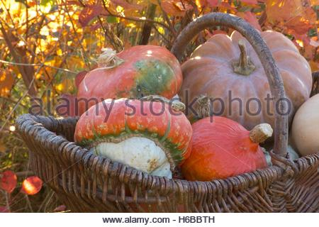 Miscellaneous squashes, Turk's Turban, 'Muscade de Provence', 'Butternut' and Red Kuri squashes - Stock Photo