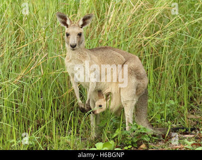 A Kangaroo mother pausing with her baby joey in her pouch. - Stock Photo