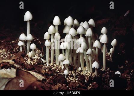 Termitomyces sp. Termite Hill mushroom (small). Class: Homobasidiomycetes . Series: Hymenomycetes. Order: Agaricales. - Stock Photo