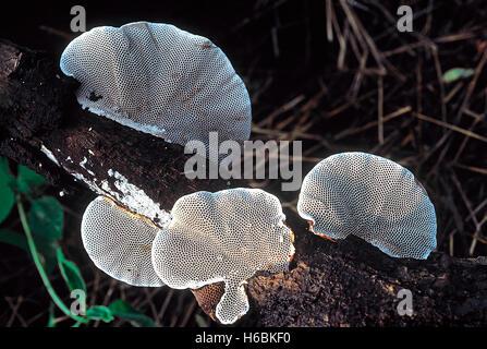 Hexagonia sp. Class: Homobasidiomycetes . Series: Hymenomycetes. Order: Aphyllophorales. A woody bracket fungus - Stock Photo