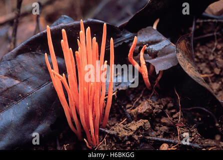 Orange Noodle fungus. Class: Homobasidiomycetes. Series: Hymenomycetes. Order: Aphyllophorales.,This fungus is about - Stock Photo