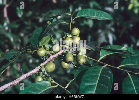 Leaves and fruit. Diospyros Sylvatica. Family: Ebenaceae. A large evergreen tree with a dark, smooth trunk marked - Stock Photo