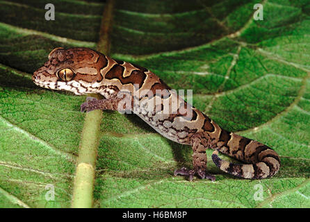 Blotched gecko. Geckoella Nebulosa. A ground dwelling gecko found in central India. - Stock Photo