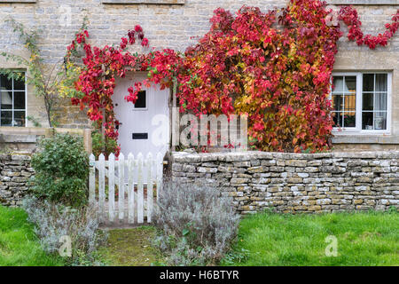 Parthenocissus quinquefolia. Virginia Creeper / American ivy on a cottage in Ablington, Cotswolds, Gloucestershire, - Stock Photo