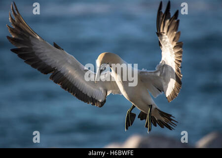 Cape gannet (Morus capensis) in flight by Bird Island in Lambert's Bay, Western Cape, South Africa - Stock Photo