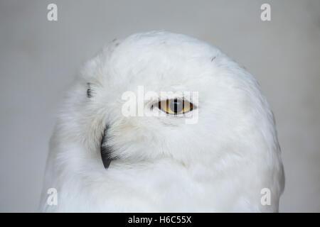 Snowy owl (Bubo scandiacus). Wildlife animal. - Stock Photo