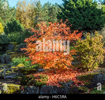 Acer Sieboldianum plant in Rock Garden Royal Botanic Garden in Edinburgh Scotland in autumn - Stock Photo