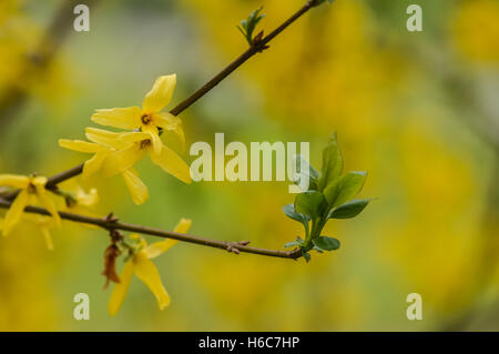 twig of forsythia flowers closeup - Stock Photo