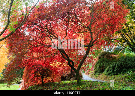 Backlit red Autumn foliage of two Japanese maples, Acer palmatum varieties in the Acer glade at The Garden House, - Stock Photo
