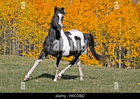 Tobiano Pinto Stallion trotting in meadow in front of Aspen trees in autumn colors - Stock Photo