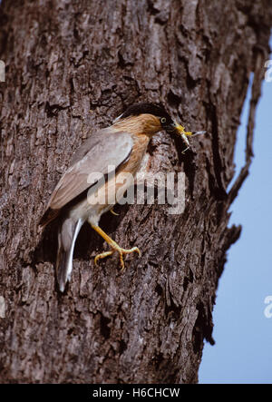 Brahminy Myna or Brahminy Starling,(Sturnus pagodarum), at nest hole with insect food, Rajasthan, India - Stock Photo