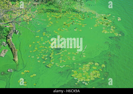 Algae blooms in stagnant backwaters due to emission of phosphates - Stock Photo