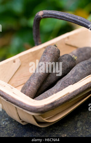Daucus carota. Purple carrots in a trug. - Stock Photo
