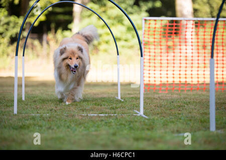 Scottish Collie in hooper competition - Stock Photo