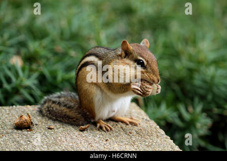Close-up of Eastern chipmunk (Tamias striatus) with bulging cheeks eating an acorn - Stock Photo