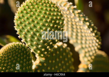 Morning sun light Opuntia ficus indica on dark background, Green cactus with raw leaves. - Stock Photo