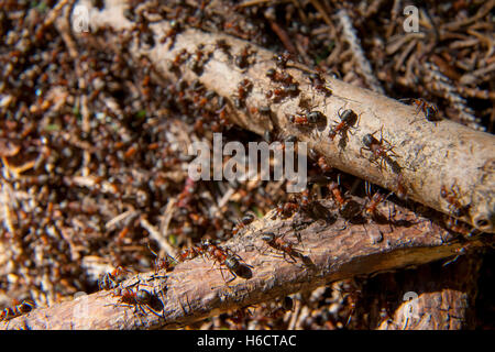Southern wood ant or horse ant (Formica rufa) on an anthill, Bavaria